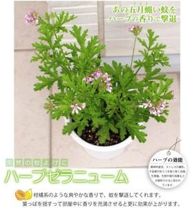 geraniumupage1.jpg